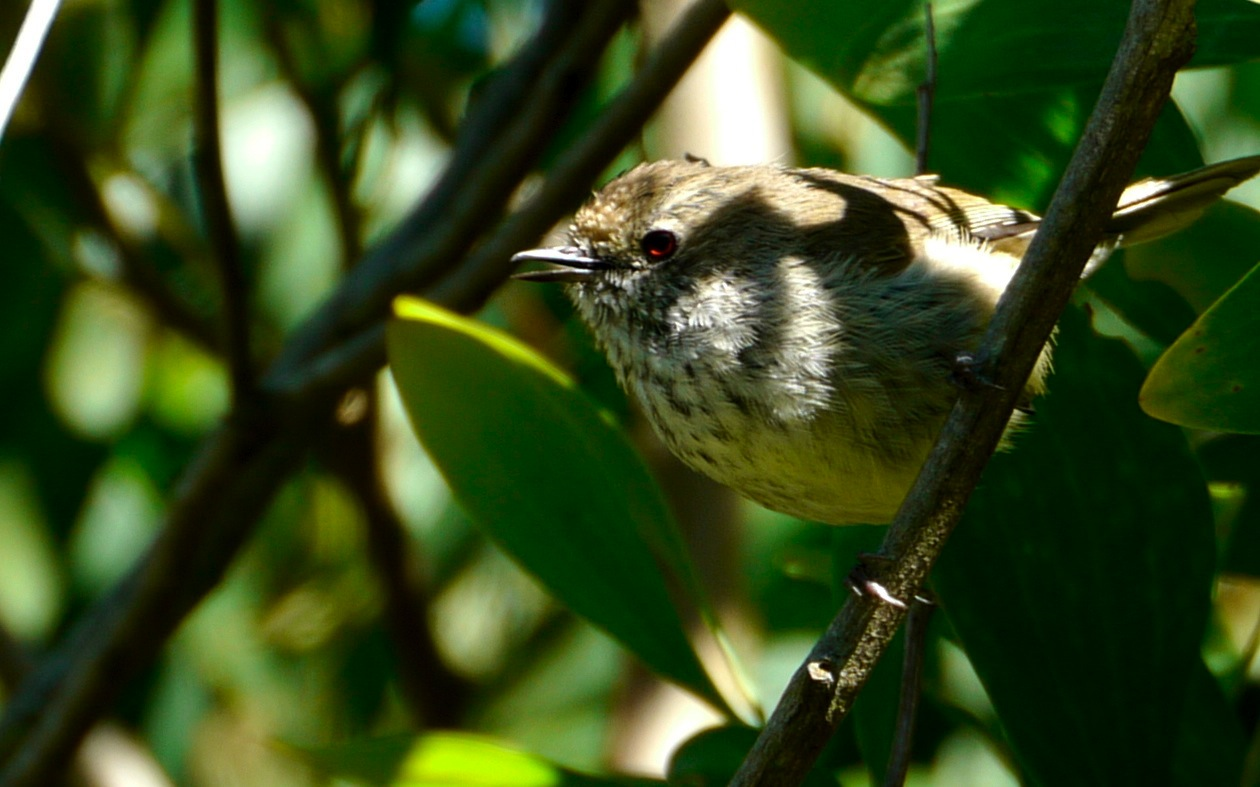 Brown Thornbill, one of the more common birds of the day (Photo by Jan Erasmus)