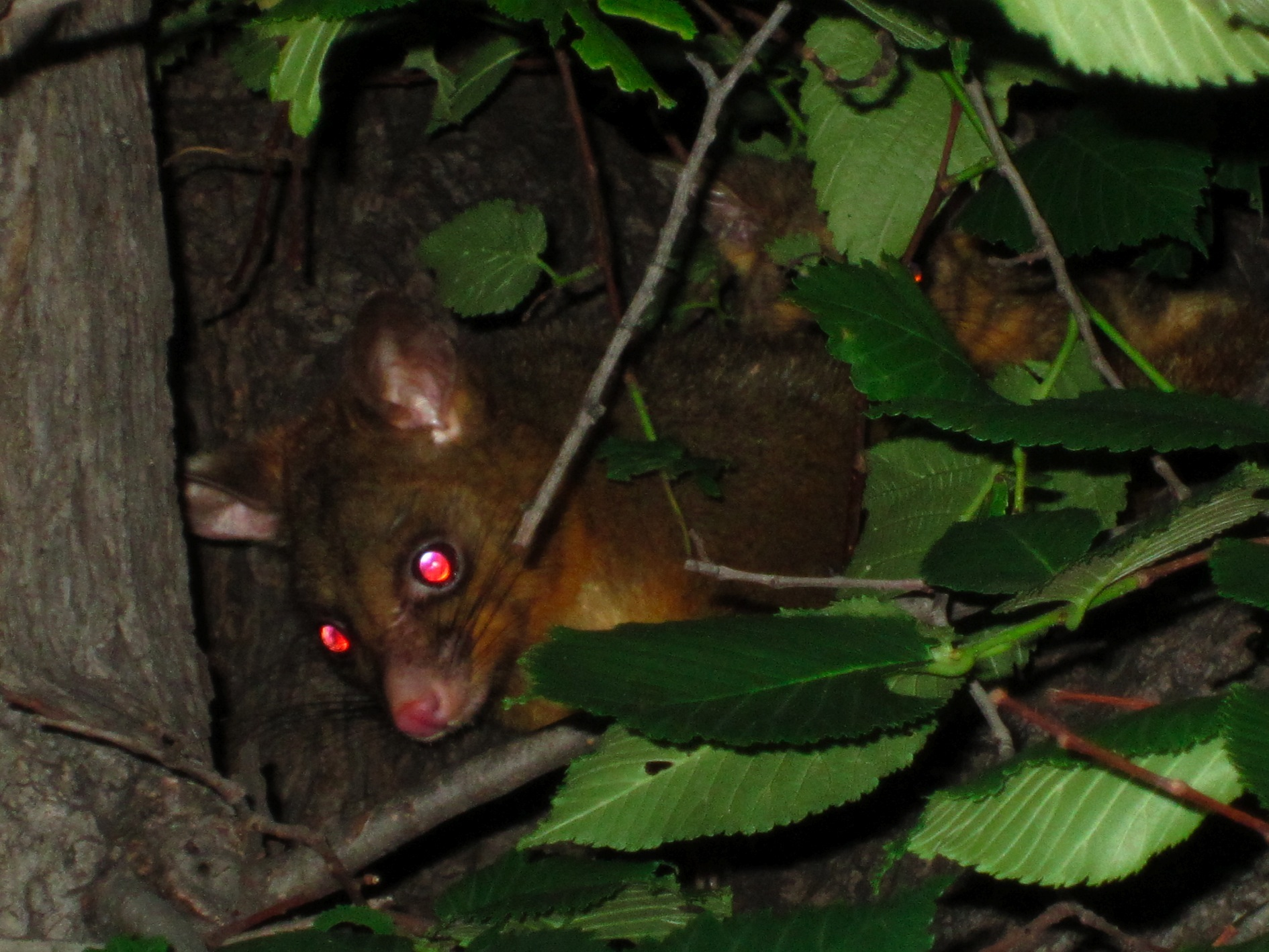 Brushtail Possum, in St. Kilda, 2 Dec 2011. You can see a baby peeking over mom's back