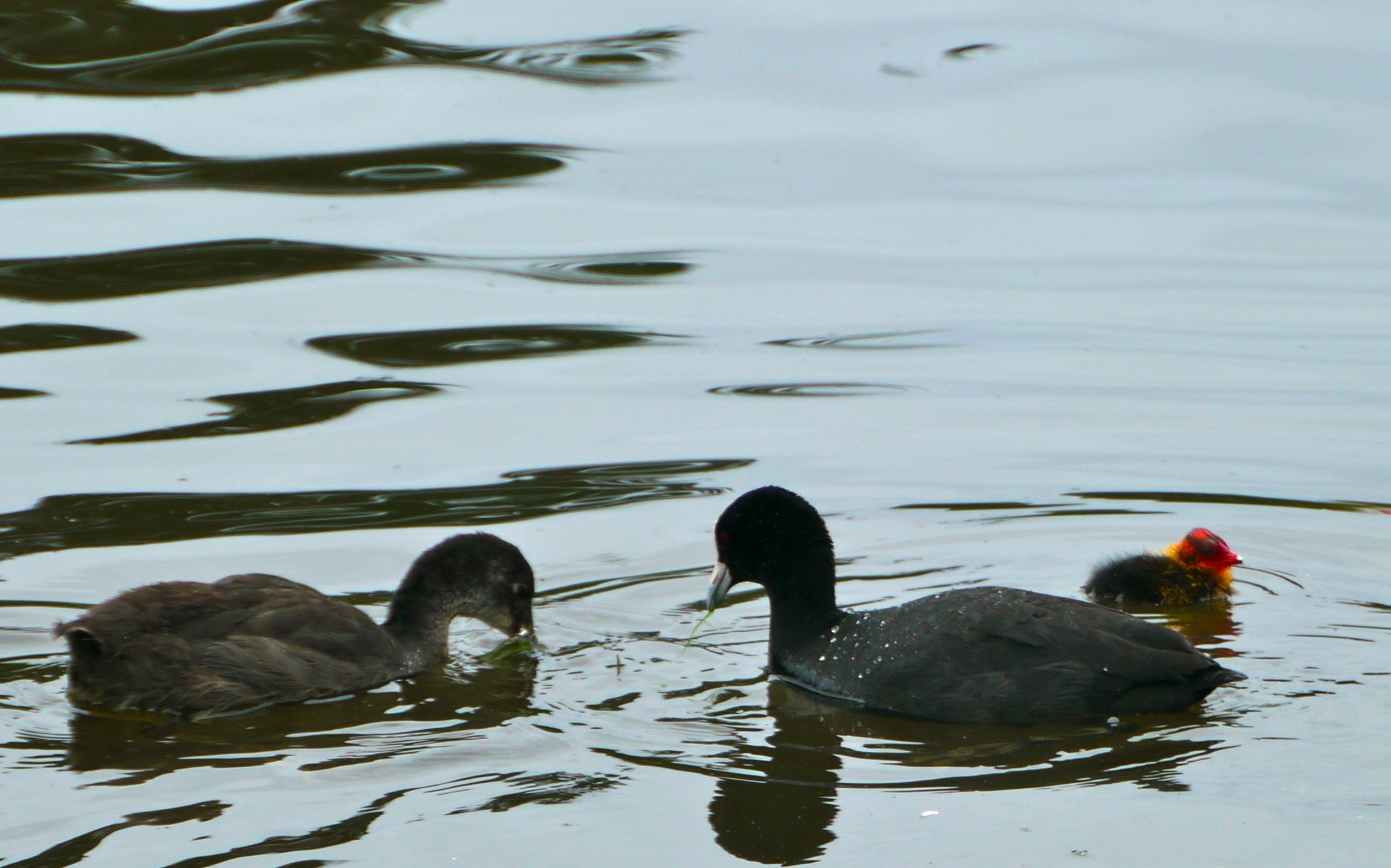 Three generations of Coot in one photo, at Aireys Inlet, 2 Dec 2011