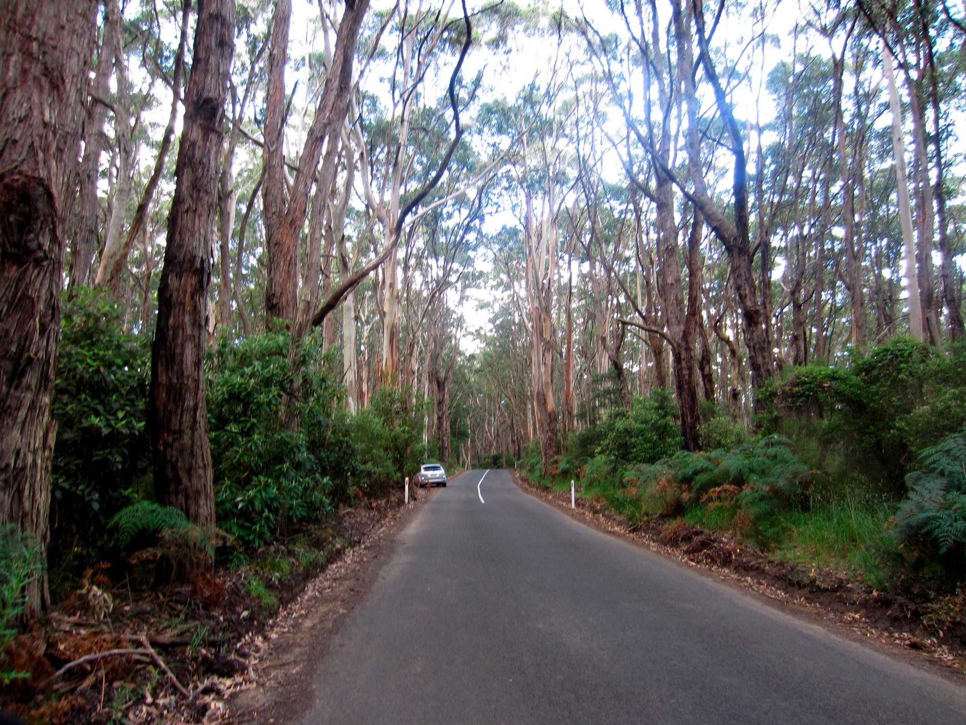 Eucalypt Forest, in Great Otway National Park, 2 Dec 2011