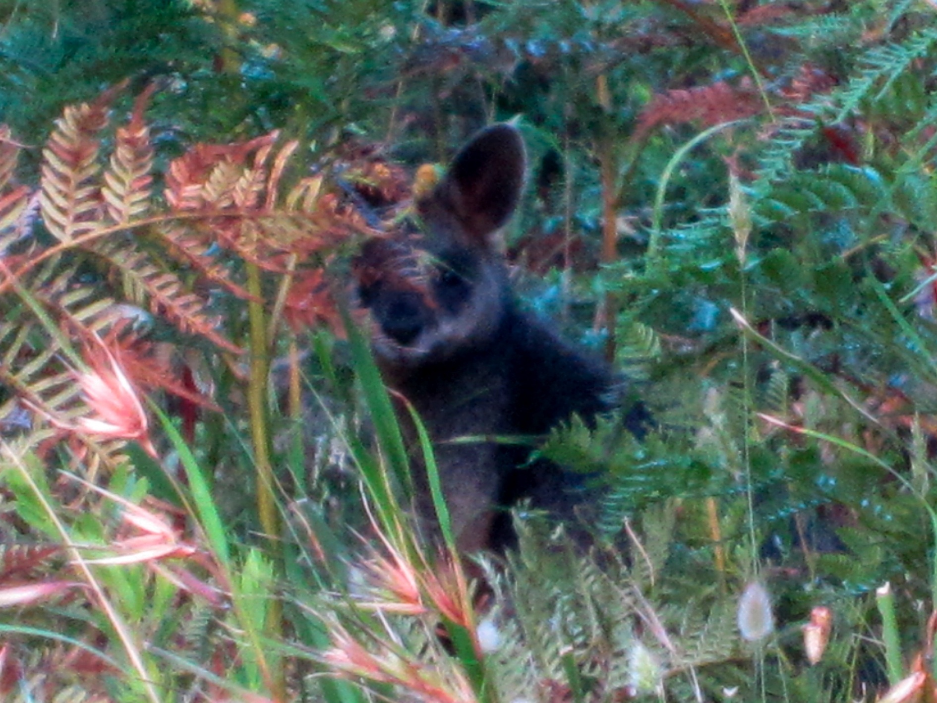 Swamp Wallaby, in the Great Otway National Park, 2 Dec 2011
