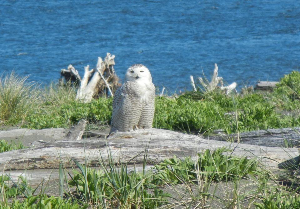 Snowy Owl at Ocean Shores WA, March 2012